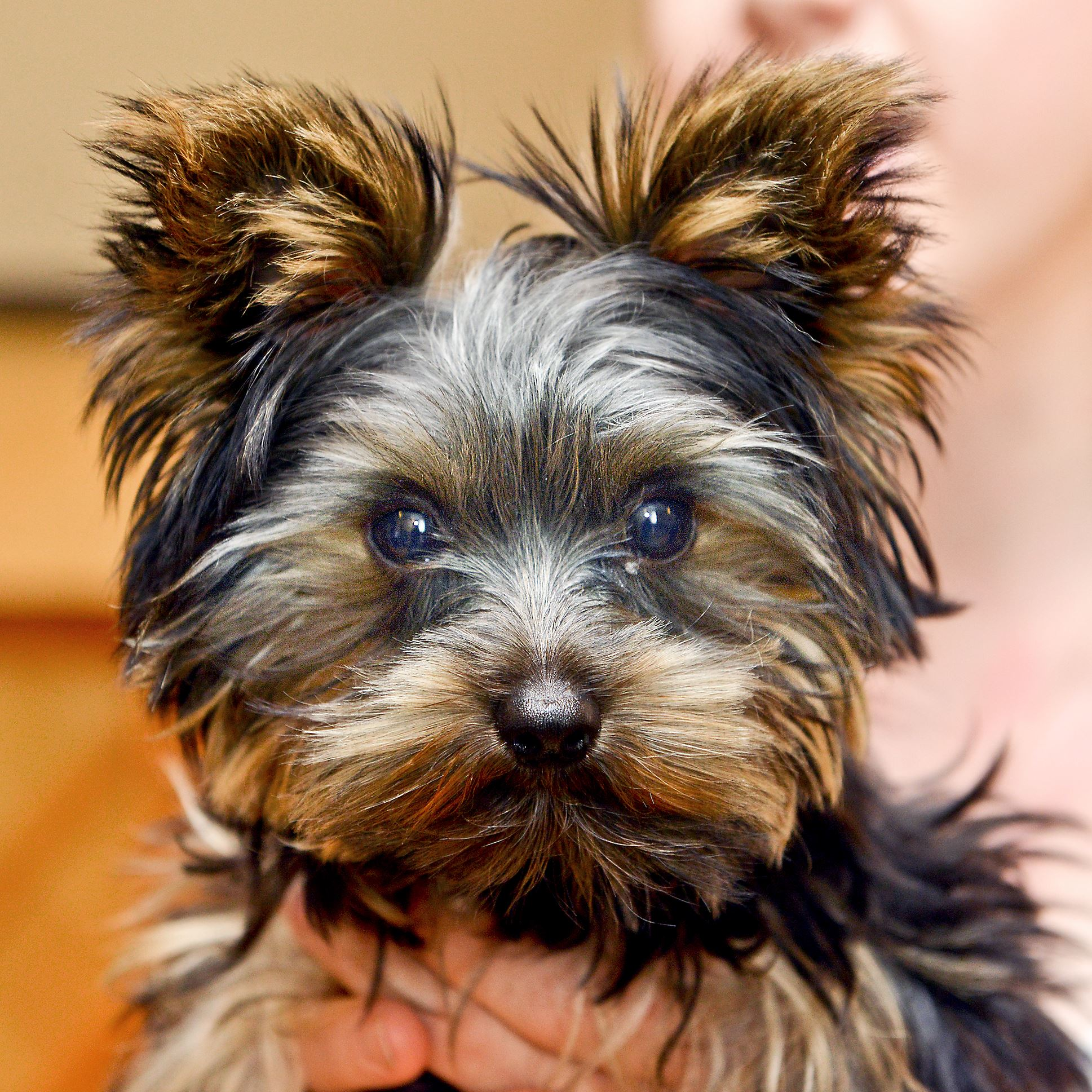Yorkie in CLO's Mary Poppins